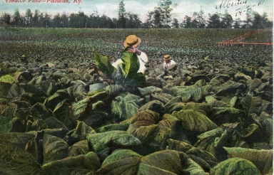 Cutting tobacco in field near Paducah (KY)