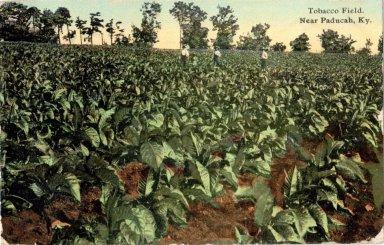 Tobacco Field Near Paducah, KY