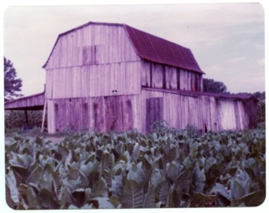 Barn and Tobacco on the Winford Guess Farm