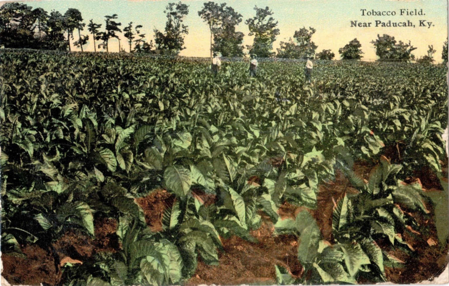 Tobacco Field Near Paducah, KY